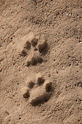 Iberian Lynx Spoor (Lynx pardinus)  Doñana Natural Park. Huelva. SPAIN<br /> RANGE: Iberian Penninsula of Spain & Portugal.<br /> CITES 1, CRITICAL - DANGER OF EXTINCTION<br /> Fewer than 200 animals in the wild. There is a reduced genetic variability due to their small population. They have suffered due to hunting, habitat loss, road accidents, reduced food supply due to desease in rabbits (Myxomatosis & RHD) - their base food supply. Deseases such as feline leukaemia<br /> A medium sized cat weighing 12-15kgs, Body length 90cm, Shoulder height 45-50cm. They have a mottled fur pattern, (3 varieties of fur pattern found between the different populations and distinguishing them geographically)  short tail, ear tufts and are bearded. They are territorial cats although female cubs have been found to share their mother's territory. Mating occurs in Dec/Jan and cubs born around April. They live up to 13 years.<br /> <br /> Mission: Iberian Lynx, May 2009<br /> © Pete Oxford / Wild Wonders of Europe<br /> Zaldumbide #506 y Toledo<br /> La Floresta, Quito. ECUADOR<br /> South America<br /> Tel: 593-2-2226958<br /> e-mail: pete@peteoxford.com<br /> www.peteoxford.com
