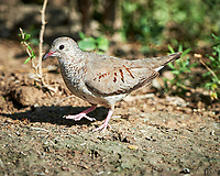 Common Ground Dove (Columbina passerina). Campos Viejos, Texas. Image taken with a Nikon D4 camera and 500 mm f/4 VR lens.