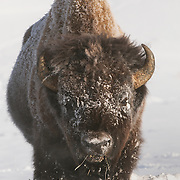 A large bull bison in Yellowstone National Park, Wyoming.