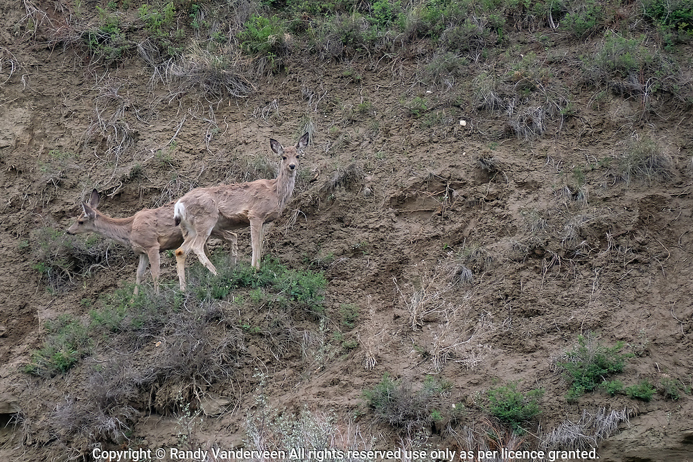 Photo Randy Vanderveen<br /> 2019-05-30,<br /> St. Mary Reservoir Provincial Recreation Area, Alberta<br /> Mule deer graze in the hills surrounding the St. Mary Lower Campground southwest of Lethbridge.  A dead end loop of the St Mary River in the lower campground provides plenty of wildlife habitat for campers and day use patrons to see.