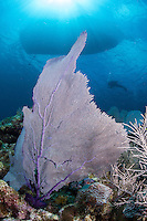 Diver, Boat, Gorgonian, and Sun Rays<br /> <br /> Shot in Cayman Islands