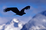 Image of a bald eagle in flight on the Kenai Peninsula, Alaska, the bald eagle is a bird of prey and national bird and symbol of the United States of America by Randy Wells