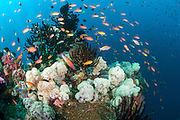 A Pastel Rainbow of Reef Fish feeds in the current<br /> <br /> Shot in Indonesia