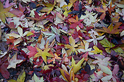 Autumn leaves on the ground on 27th November 2019 in London, England, United Kingdom. Autumn leaf colour is a natural phenomenon where green leaves of many deciduous trees and shrubs during a few weeks in the autumn season, change colour to various shades of yellow, orange, red and brown as the plants reduce the chlorophyll to shed the leaves at this time of the year.