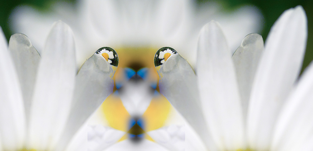 """""""Eyes of the Garden"""", derivative image created from a photo of a rain droplet mirroring a daisy, April, private residence garden North Olympic Peninsula, Washington, USA"""