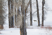 A lone wolf moves through the trees in Yellowstone's Lamar Valley.