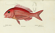 Pagrus (Pagre) from Histoire naturelle des poissons (Natural History of Fish) is a 22-volume treatment of ichthyology published in 1828-1849 by the French savant Georges Cuvier (1769-1832) and his student and successor Achille Valenciennes (1794-1865).