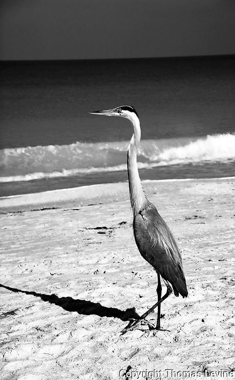 Fine Art<br /> <br /> Great Blue Heron standing in the morning light in Black & White. RAW to Jpg