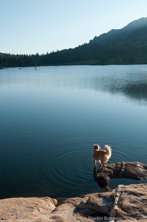 Dog (golden retriever) at the edge of Wet Meadows Reservoir, Sierra Nevada, Toiyabe National Forest, California