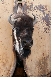 Bison in head gate, Ladder Ranch, west of Truth or Consequences, New Mexico, USA.