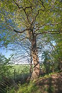 Ancient Wild Service Tree - Sorbus torminalis, Stoke Woods, Bicester, Oxfordshire owned by the Woodland Trust