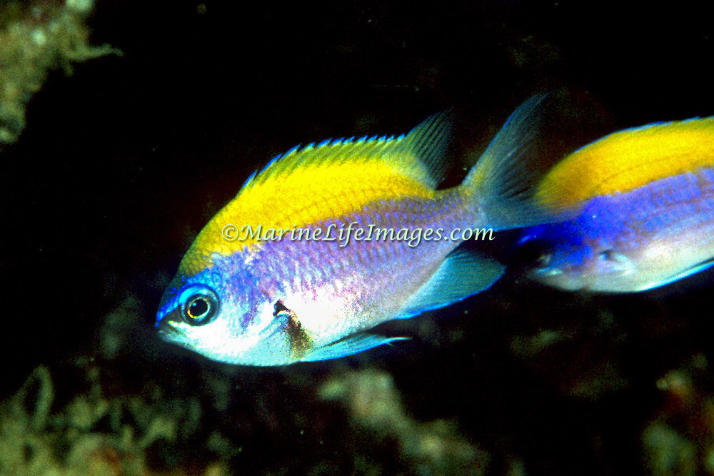 Sunshinefish, juvenile, inhabit deep reefs and walls in Tropical West Atlantic; picture taken Venezuela.