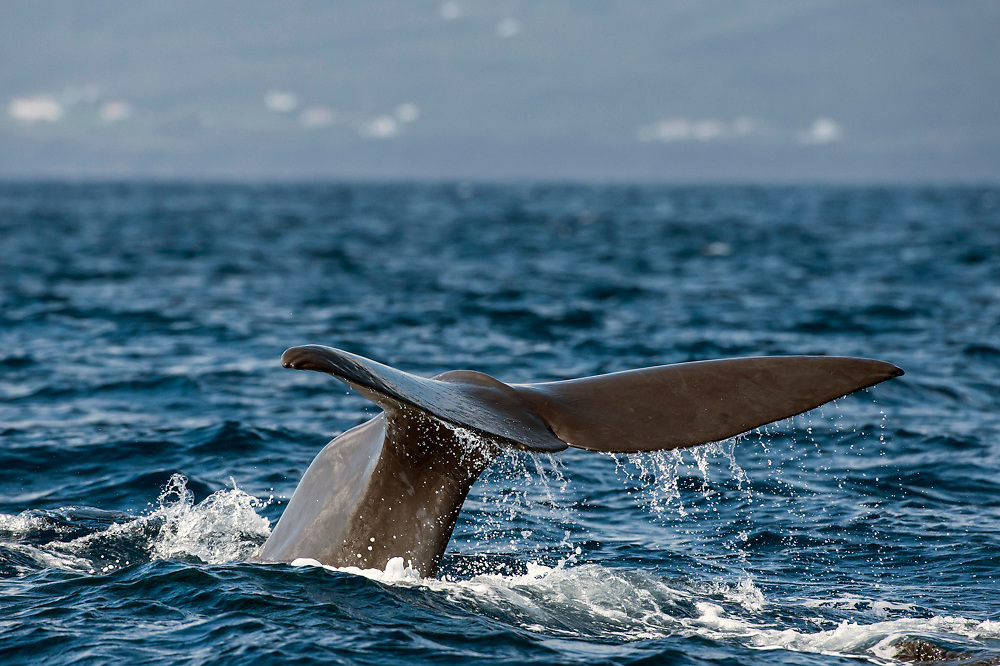 The Sperm Whale or Cachalot, Physeter macrocephalus, displays its fluke, or tail, when diving to feed in the deep waters offshore Pico Island, Azores, Portugal, North Atlantic Ocean. Image available as a premium quality aluminum print ready to hang.