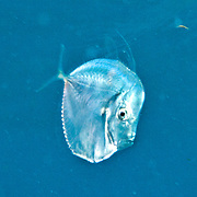 Lookdown juveniles inhabit open water often within the protective tentacles of jellyfish, in Tropical West Atlantic; picture taken Key Largo