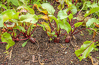 A row of beets grow in the dark soil of an organic garden.