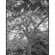 Regents Park Tree - London, UK - Artist Designed Custom Border - Black & White