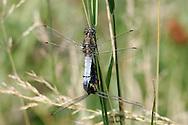 Black-tailed Skimmer - Orthetrum cancellatum