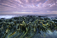 Early dawn at Waipapa Point, in the Catlins, showing bull kelp at low tide, looking like aliens having a bath in some distant planet.