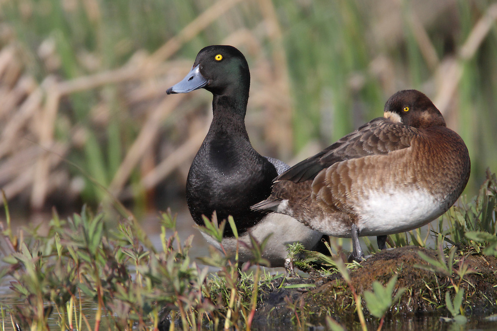 Greater Scaup - Aythya marila - male and female