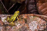 Phantasmal Poison Arrow Frog (Epipedobates tricolor)<br /> CAPTIVE<br /> Central ECUADOR. South America<br /> RANGE: Ecuador, <br /> Andean slopes of central Ecuador<br /> 1000-1,769m<br /> Epibatidine skin secretions used in medical research