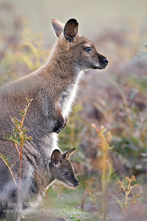 Red-necked Wallaby (Macropus rufogriseus) - Tasmania