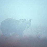 Grizzly Bear, (Ursus horribilis) Obscured image of lone bear on tundra. Foggy autumn day.  Alaska.