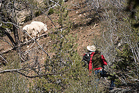 After about 1,000 feet of climbing, biologist Gary Fralick and warden Kyle Lash catch up to the mountain goats, and Lash takes aim at one with the tranquilizer gun.