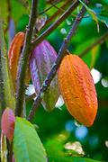 Cacao tree, chocolate, Botanical garden, Waipio Valley, Big Island of Hawaii