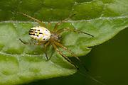 Close up of a female small orb-web spider (Mangora acalypha) resting on a leaf at a coastal habitat in Rovinj, Croatia.