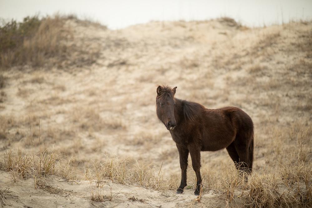 Wild horses in Corolla, NC.