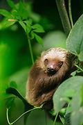 Perezoso didáctilo de Hoffmann / Parque Nacional Camino de Cruces, Panamá.<br /> <br /> Edición de 10   Víctor Santamaría.<br /> <br /> Hoffmann's two-toed sloth / Camino de Cruces National Park, Panama.<br /> <br /> Edition of 10   Víctor Santamaría.