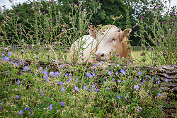 Meadow Cranesbill growing on a roadside verge in Gloucestershire with cow in the field beyond. Geranium pratense