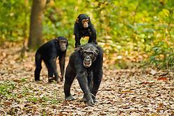 Chimps at Mahale National Park on Lake Tanganyika in Tanzania August 27, 2011. (Photo by Ami vitale)