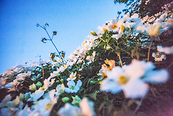 Clematis blooms at night, 10th June 2015.