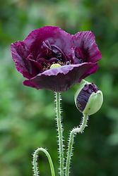 Papaver somniferum. Dark black opium poppy.