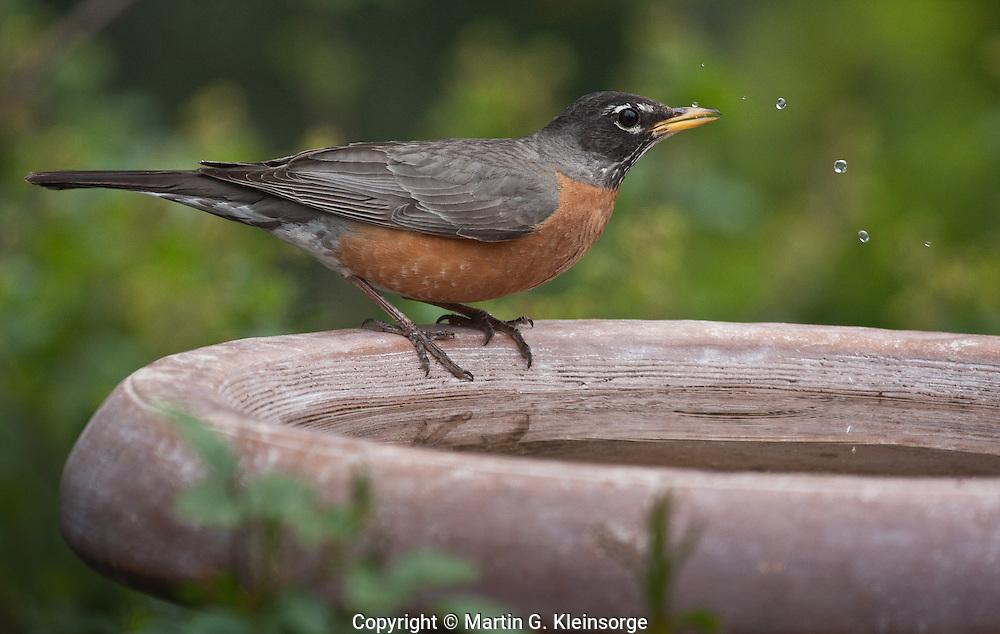 American Robin (Turdus migratorius) male at a birdbath.  Males:  Black head and dark red breast.  Female:  Dark gray head and pale reddish breast.