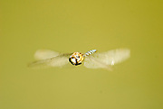 Migrant Hawker, Aeshna mixta, male, in flight, head on, wings blurred, Woods Mill, West Sussex, flying, dragonfly