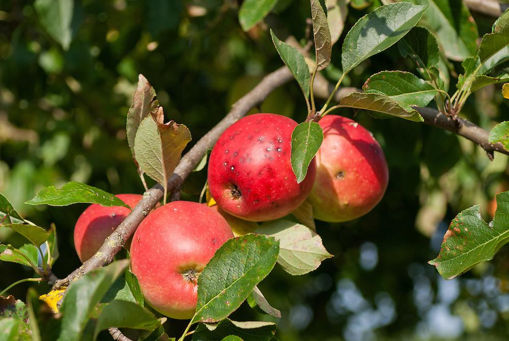 Natuerliche  Bioaepfel haengen prall an einem Baum |  red apples on a tree    |