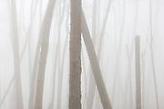 Monterey Pines in Fog, Monterey, California 2005