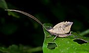 Leaf katydid, possibly Typophyllum sp., from La Selva, Ecuador.