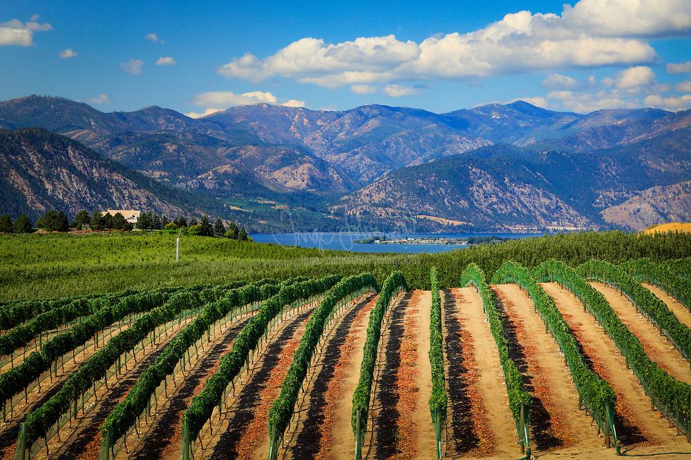 Vineyard in Chelan sloping gently down towards Lake Chelan