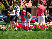 """03 MAY 2020 - PELLA, IOWA: People look at the blooming tulips in downtown Pella, Iowa. Pella is a small community in central Iowa. The town's economy is driven by tourism and the Tulip Festival, the largest tourist event of the year, has already by canceled for 2020 because of fears that the festival could become a COVID-19 (Coronavirus/SARS-CoV-2) """"Super Spreader"""". The Governor of Iowa reopened 77 of Iowa's 99 counties. The counties that were reopened have reported low incidences of Coronavirus. Marion County, where Pella is located, has reported 12 cases of Coronavirus. There have been 9,169 confirmed cases of Coronavirus in Iowa, including 1,476 cases in the Des Moines area, less than one hour away. Many people from Des Moines drove to Pella this weekend to see the tulips for which the town is famous.     PHOTO BY JACK KURTZ"""