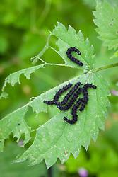 Peacock Butterfly caterpillars on nettle leaf