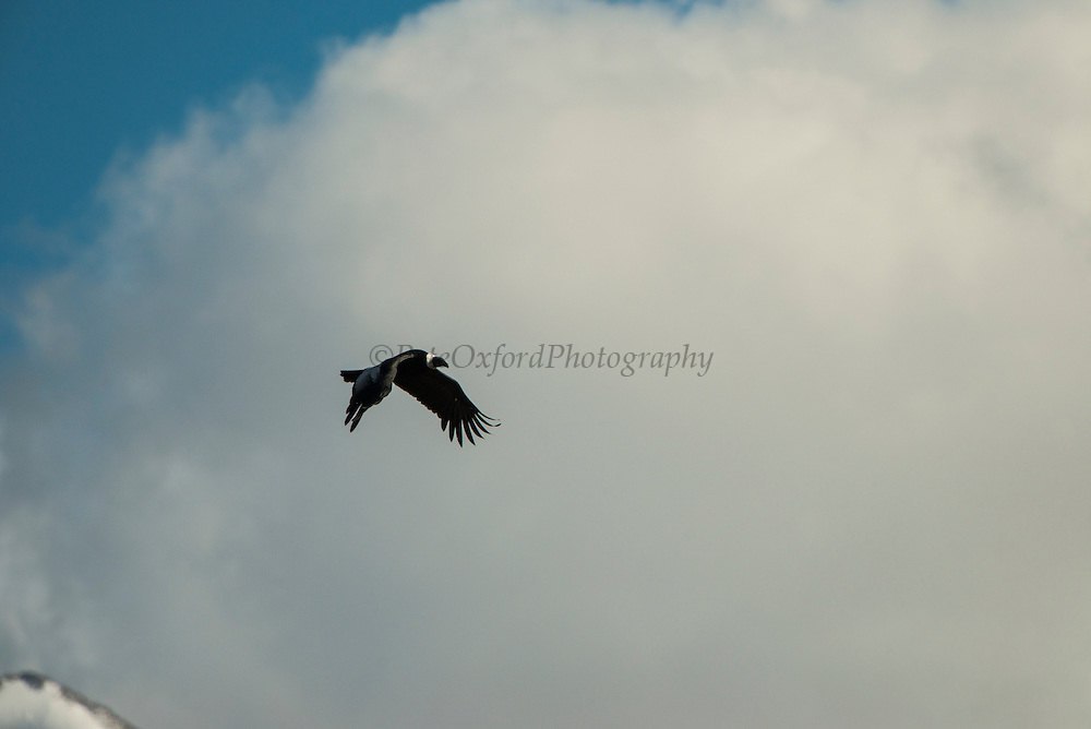 Andean Condor (Vultur graphs)<br /> Torres del Paine National Park<br /> Patagonia<br /> Magellanic region of Southern Chile<br /> IUCN STATUS: near threatened
