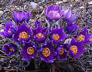 Spring bloom of pasqueflower, Pulsatilla patens, south of Tok, Alaska.