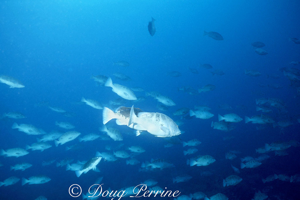 Nassau groupers, Epinephelus striatus, courtship at spawning aggregation; fish in foreground partially excited (light belly), fish behind has completed change to bicolor phase and is ready to spawn, Belize ( Caribbean Sea )