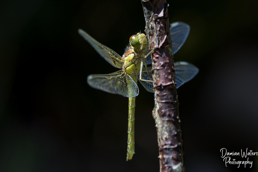 Common Darter - Sympetrum striolatum - freshly emerged from larval state - Wirral, June