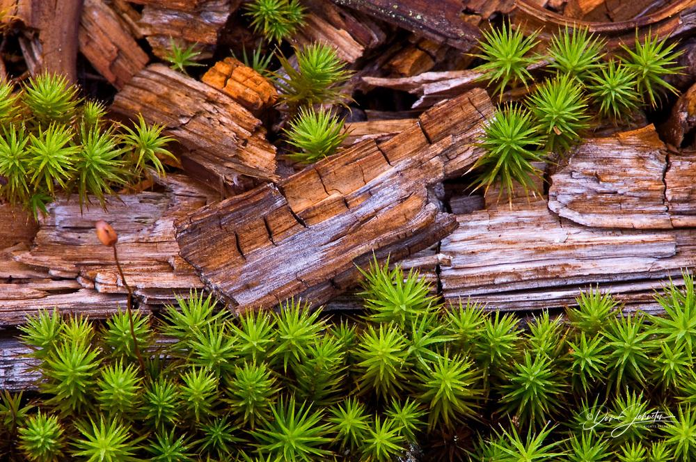 Hair cap moss, Polytrichium commune and dead wood, Lively, Ontario, Canada