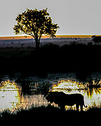 Silhouette of a lion at sunset. Photographed in Kenya