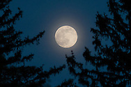 Middletown, New York  - The nearly-full moon rises  behind trees  on May 20, 2016.